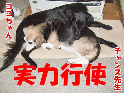 チャンスとティアラ+ココ-20101029-4-400.jpg
