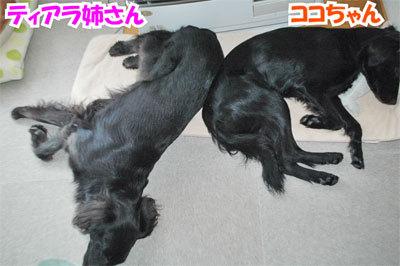 チャンスとティアラ+ココ-20101029-6-400.jpg
