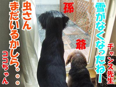 チャンスとティアラ+ココ-20101029-7-400.jpg