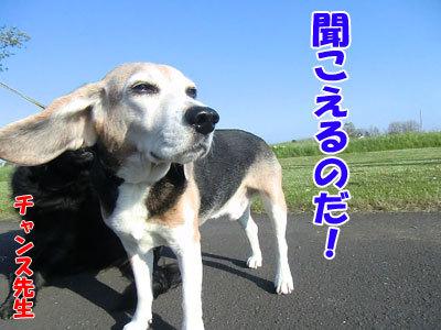 チャンスとティアラ+ココ-20120528-7-400.jpg