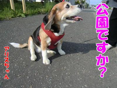 チャンスとティアラ+ココ-20120529-1-400.jpg