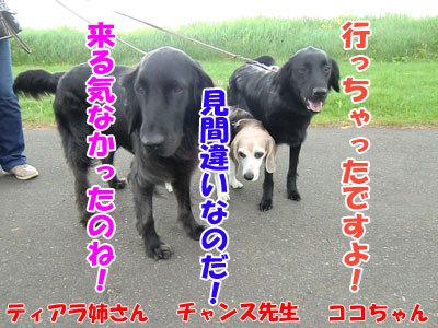 チャンスとティアラ+ココ-20120529-7-400.jpg