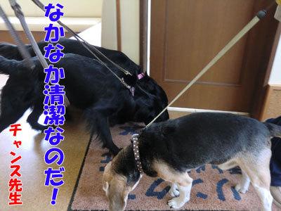 チャンスとティアラ+ココ-20120530-4-400.jpg