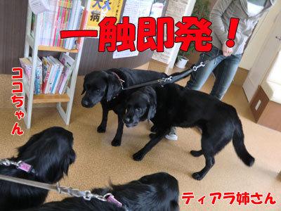 チャンスとティアラ+ココ-20120530-5-400.jpg