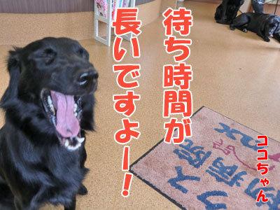チャンスとティアラ+ココ-20120530-7-400.jpg