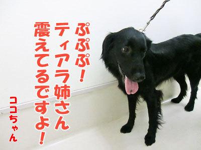 チャンスとティアラ+ココ-20120530-10-400.jpg