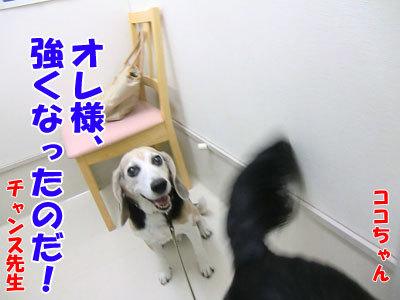 チャンスとティアラ+ココ-20120530-11-400.jpg