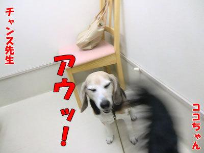 チャンスとティアラ+ココ-20120530-13-400.jpg