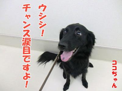 チャンスとティアラ+ココ-20120530-17-400.jpg