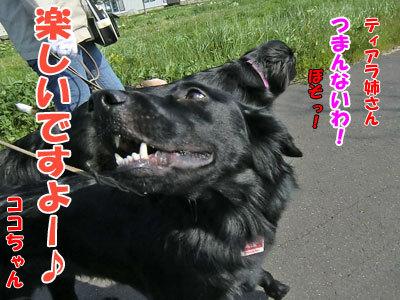 チャンスとティアラ+ココ-20120601-4-400.jpg