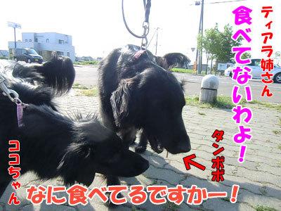 チャンスとティアラ+ココ-20120601-6-400.jpg