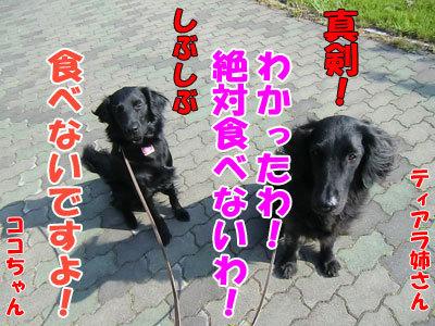 チャンスとティアラ+ココ-20120601-7-400.jpg