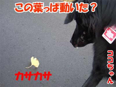チャンスとティアラ+ココ-20101104-1-400.jpg
