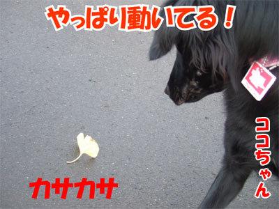 チャンスとティアラ+ココ-20101104-2-400.jpg
