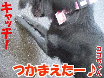 チャンスとティアラ+ココ-20101104-4-400.jpg