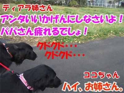 チャンスとティアラ+ココ-20101104-7-400.jpg