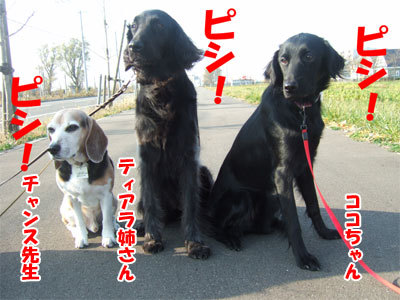 チャンスとティアラ+ココ-20101108-7-400.jpg