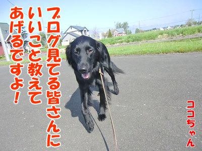 チャンスとティアラ+ココ-20120604-1-400.jpg