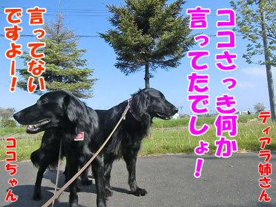 チャンスとティアラ+ココ-20120604-3-400.jpg