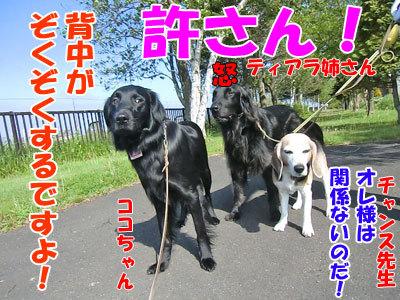 チャンスとティアラ+ココ-20120604-5-400.jpg