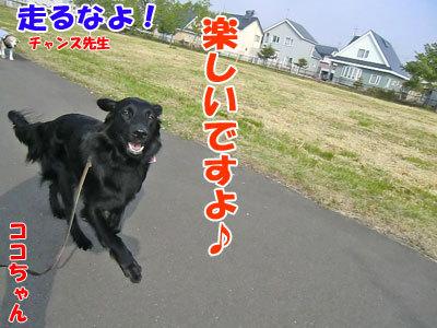チャンスとティアラ+ココ-20120606-1-400.jpg