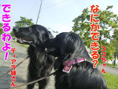 チャンスとティアラ+ココ-20120606-3-400.jpg