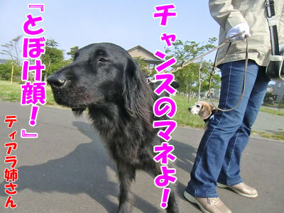 チャンスとティアラ+ココ-20120606-4-400.jpg