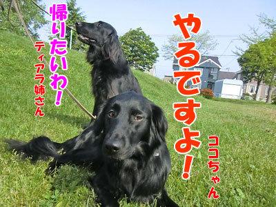チャンスとティアラ+ココ-20120606-7-400.jpg
