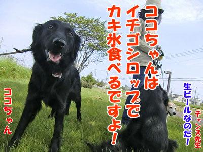 チャンスとティアラ+ココ-20120607-2-400.jpg