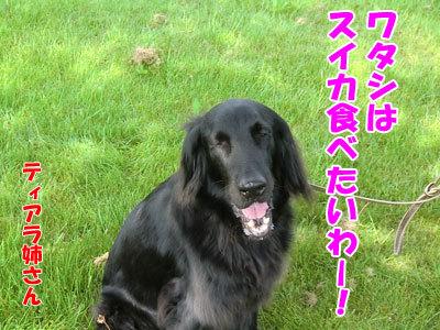 チャンスとティアラ+ココ-20120607-3-400.jpg