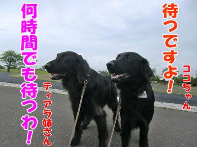 チャンスとティアラ+ココ-20120608-4-400.jpg