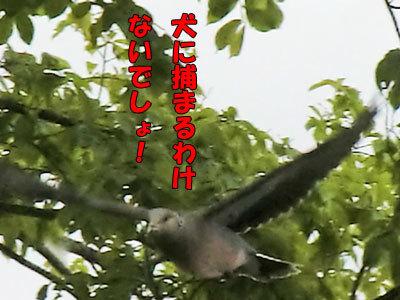 チャンスとティアラ+ココ-20120608-6-400.jpg