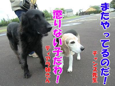 チャンスとティアラ+ココ-20120608-7-400.jpg