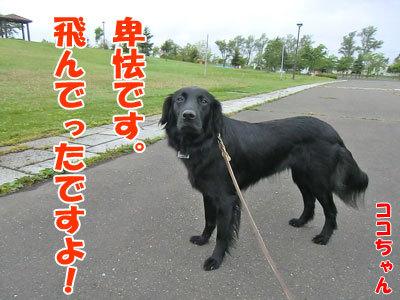 チャンスとティアラ+ココ-20120608-8-400.jpg