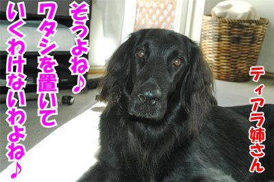 チャンスとティアラ+ココ-20101112-5-400.jpg