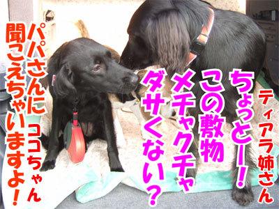 チャンスとティアラ+ココ-20101112-7-400.jpg