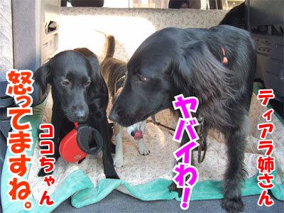 チャンスとティアラ+ココ-20101112-8-400.jpg
