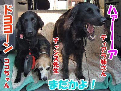 チャンスとティアラ+ココ-20101112-9-400.jpg