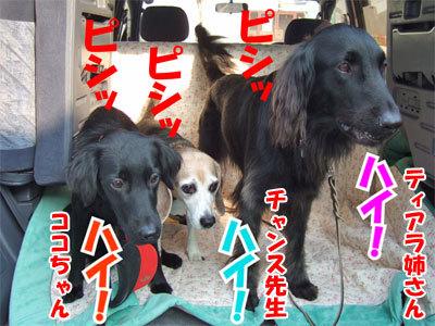 チャンスとティアラ+ココ-20101112-10-400.jpg