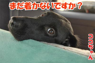 チャンスとティアラ+ココ-20101112-12-400.jpg