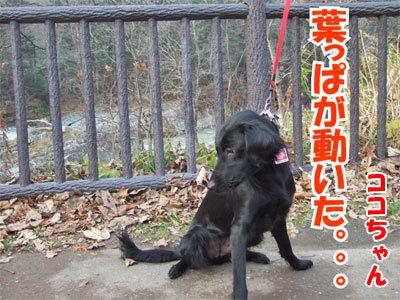 チャンスとティアラ+ココ-20101112-16-400.jpg