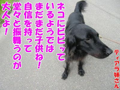 チャンスとティアラ+ココ-20120611-2-400.jpg