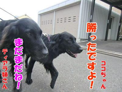 チャンスとティアラ+ココ-20120611-3-400.jpg