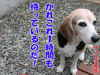 チャンスとティアラ+ココ-20120612-5-400.jpg