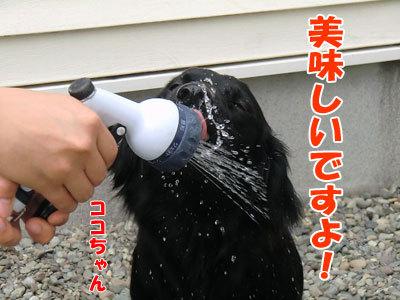 チャンスとティアラ+ココ-20120612-7-400.jpg