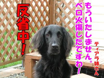 チャンスとティアラ+ココ-20120612-9-400.jpg