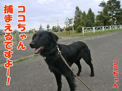 チャンスとティアラ+ココ-20120614-3-400.jpg