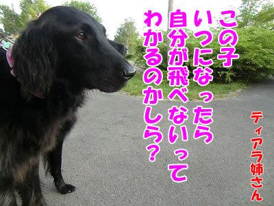 チャンスとティアラ+ココ-20120614-4-400.jpg