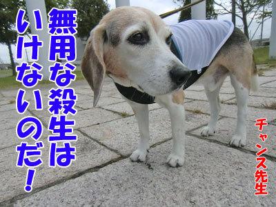 チャンスとティアラ+ココ-20120614-5-400.jpg