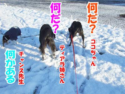 チャンスとティアラ+ココ-20101118-5-400.jpg